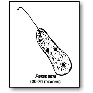 Pond Water Critters Protozoan Guide   Microbus Microscope